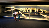 Kronosaurus display, Cambridge, MA: IMG_3120