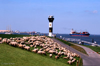 Flock of sheep at Lighthouse along Elbe river near Hamburg, Germany: GL