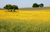 Field of Rape/Canola in North/Eastern Germany:  IMG_0322