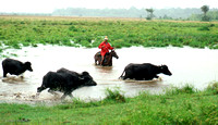 Water Buffalos being herded for market on Marajó, Brazil: BzAn4_2