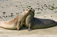 juvenile Elephant Seals in Año Nuevo State Reserve, California: 867_6722