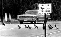 Duck Crossing:  97